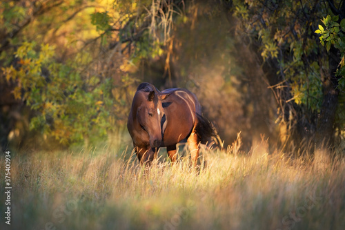 Fototapeta Stallion in fall park at sunset light obraz