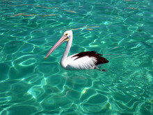 An Australian Pelican Swimming On Crystal Clear Waters