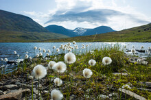 Arctic Cotton Grass Fluffy Flo...