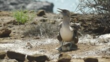 Blue Footed Booby Caring For Rare 3 Egg Nest Of Chicks In The Galapagos Islands