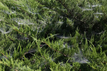Spider Web In Bushes