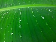 Banana Leaf, Green Leaf With D...