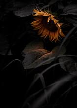 How Sunflowers Cry