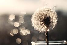 White Fluffy Dandelion On A Bl...