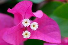 Close Up Of White Bougainvilla Flowers And Pink Bracts