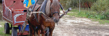 A Brown Horse Drawn To A Cart. The Concept Of Animals, Mammals