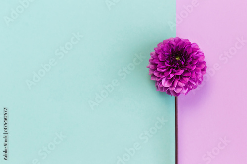 Photo Amazing Dahlia flower on a turquoise and violet pastel background