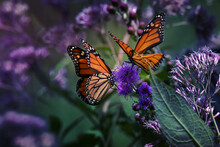 Two Monarch Butterflies Pollin...