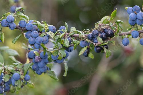 Fotografie, Obraz Close up of sloe berries on a blackthorn (prunus spinosa) tree