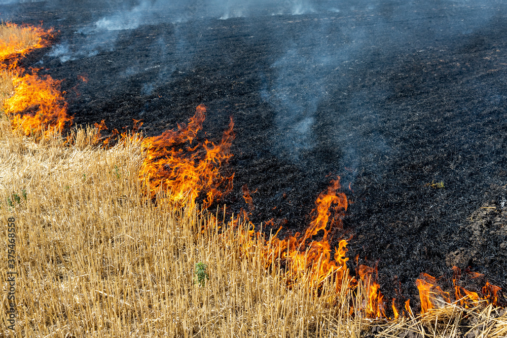 Fototapeta Wildfire on wheat field stubble after harvesting near forest. Burning dry grass meadow due arid climate change hot weather and evironmental pollution. Soil enrichment with natural ash fertilizer