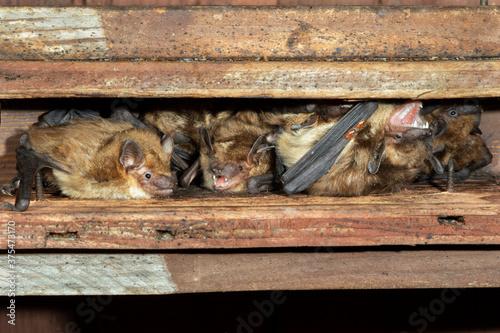 Photo Big brown bats (Eptesicus fuscus) colony in attic, Iowa, USA.