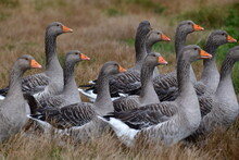 Greylag Goose In The Grass