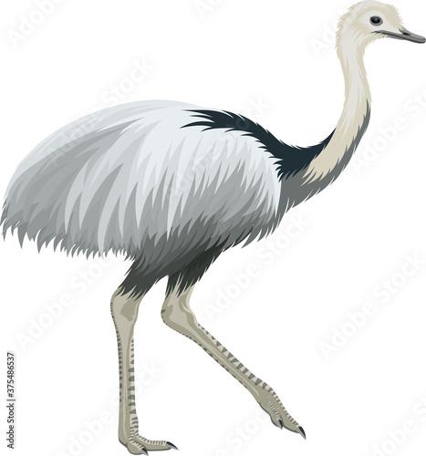 Vászonkép Vector greater rhea, flightless bird illustration