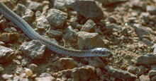 Baby Snake In Wyoming
