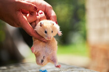 Domestic Fluffy Hamster Pet Pu...