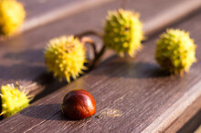 Horse Chestnut Buckeye Conker On A Wooden Surface, Autumn Background, Close Up