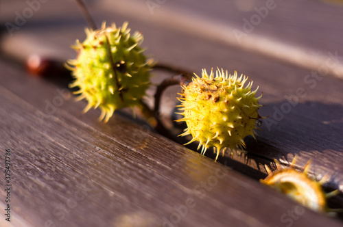 horse chestnut buckeye conker on a wooden surface, autumn background, close up Wallpaper Mural