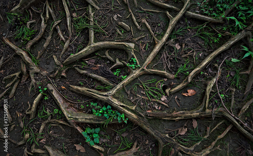 Top-down view of the surface of a forest path covered in twisting roots, dark so Fototapeta
