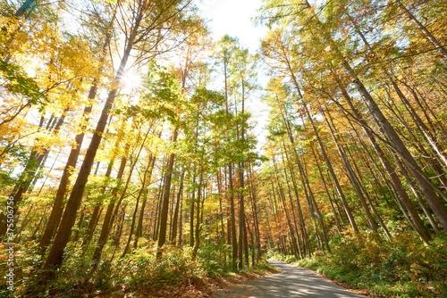 Fotografie, Obraz 紅葉した針葉樹の森 秋景色