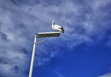 Australian Wildlife Bird Pelican