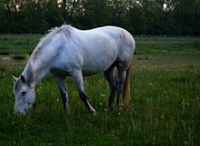 White Horse Grazing In A Pasture
