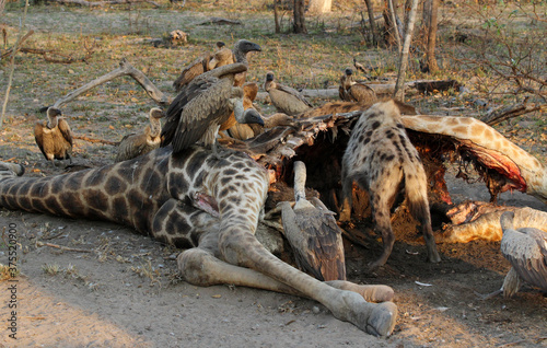 Stampa su Tela A pack of hyenas (Hyaenidae) and a flock of vultures (Necrosyrtes monachus) fighting over the carcass of a dead giraffe in Africa