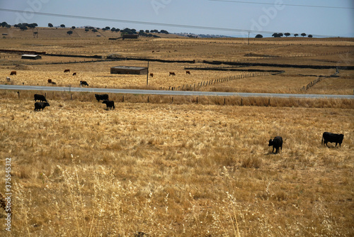 Herd of cows grazing in a dry brown field Canvas Print