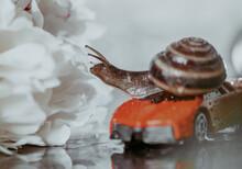 Closeup Of A Brown Grape Snail...