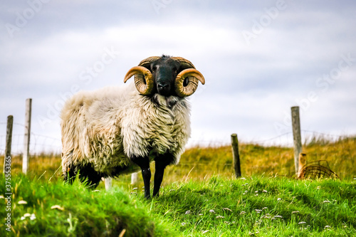 Valokuva Impressive blackface sheep with huge horns in County Donegal - Ireland