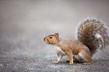 Eastern Grey Squirrel (Sciurus...