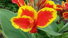 Red And Yellow Canna