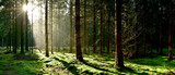 Coniferous forest with a clearing covered by moss in the light of the morning sun
