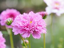 Pink Cosmos Bipinnatus 'doble Click Rose Bon Bon' Flower Close Up
