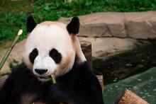 Closeup Of A Hungry Panda Snacking On Bamboo.