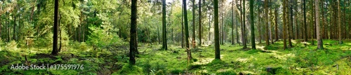 Foto Panorama of a forest with a glade covered by moss in the light of the morning su