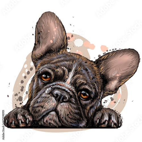 Naklejki na meble French bulldog  Sticker on the wall  Color, drawn, realistic portrait of a French bulldog puppy in watercolor style on a white background  Separate layer