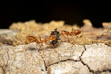 Image Of Red Ant(Oecophylla Sm...