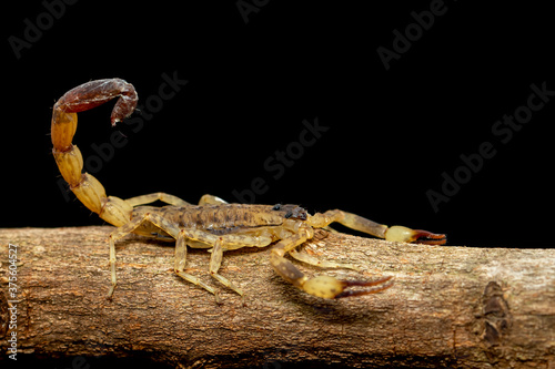 Slika na platnu Image of brown scorpion on brown dry tree branch. Insect. Animal.
