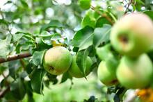 Organic, Ripe Pears In The Sum...
