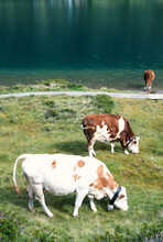 Calm Cows On Pasture