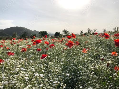 Fototapeta 풍경, 양귀비 꽃밭, 빨간 꽃, 풍경, nature obraz na płótnie