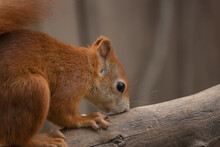 Red Squirrel Standing On A Bra...