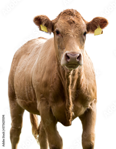 cow on a white background isolated Canvas Print