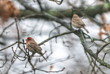 Male Red House Finch And Femal...
