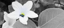 Beautiful White Flower And Unknown Insect On It .Black And White Flower With Insect Background .