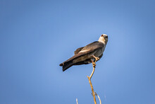 Mississippi Kite.(Ictinia Mississippiensis) Perched On A Branch