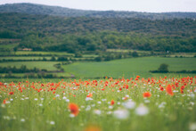 Spring Landscape With Many Poppies In The Field.