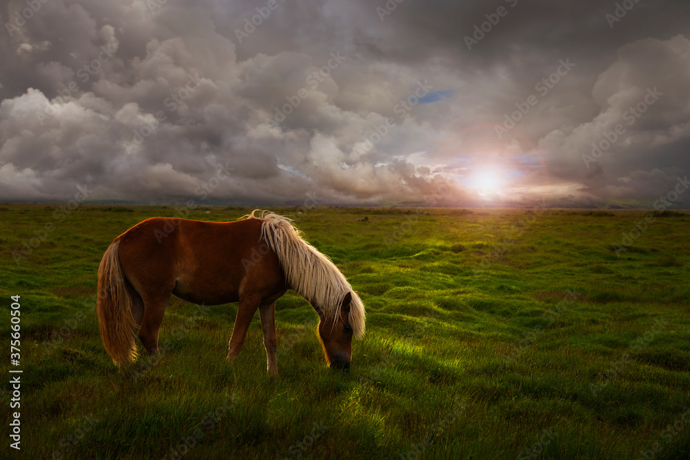 Fototapeta Horse in a huge meadow at sunset in iceland