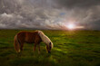 Horse in a huge meadow at sunset in iceland