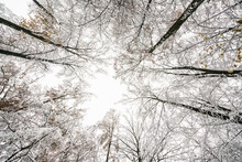 Wide Angle View Upwards In A Snow Covered Forest